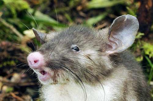 cocozinho de ratinho