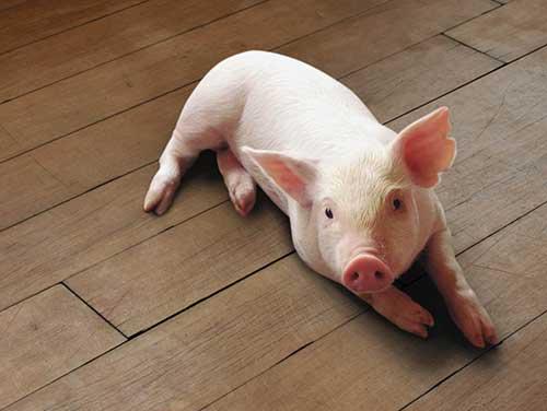 sonhei com porcos